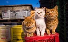 Обои лето, взгляд, тройка, коты