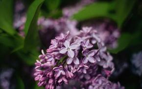 Картинка макро, цветы, лист, нежность, весна, сирень, dobraatebe