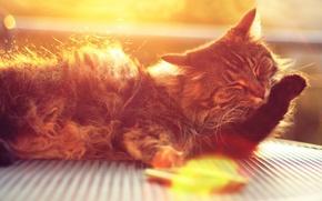 Картинка кошка, кот, морда, солнце, лучи, кошки, фон, widescreen, обои, лапа, шерсть, wallpaper, широкоформатные, background, боке, …