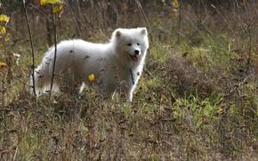 Картинка собаки, лето, природа, фон, друг, обои, собака, прогулка, Самоед