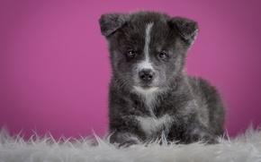 Обои серый, фон, розовый, собака, щенок, лежит, мех, милашка, акита-ину, акита