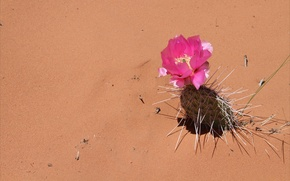 Обои песок, цветок, иголки, пустыня, кактус