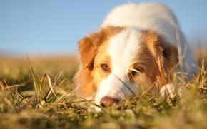 Картинка морда, собака, Австралийская овчарка
