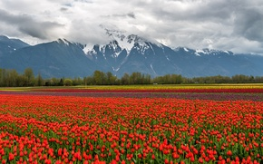 Картинка цветы, снег, горы, природа, тюльпаны, поле, пейзаж, облака