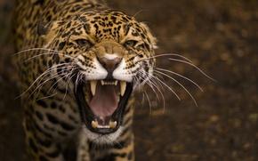 Обои усы, макро, хищник, пасть, размытость, оскал, ягуар, дикая кошка