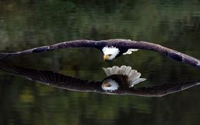 Картинка отражение, птица, орёл
