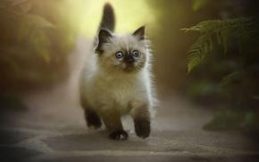 Картинка кошка, природа, котенок, пушистый, мелкий, прогулка, прелесть, папоротник, тропинка, идет, сиамский, голубоглазый, смелый, рэгдолл, несмышленый