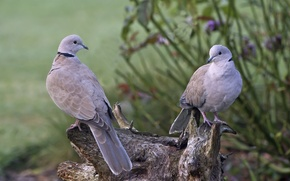 Обои пара, птицы, дерево, природа, пень, голуби