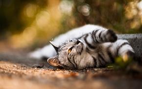 Картинка кот, шерсть, wallpapers, bokeh, ЛАПЫ, ФОТО, УСЫ, ГЛАЗА, НОС, МОРДОЧКА, БОКЕ, РАЗМЫТОСТЬ, ОКРАС