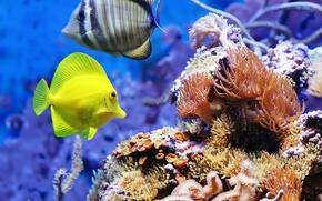 Обои аквариум, парочка, рыбки