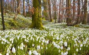 Картинка лес, деревья, цветы, ветки, природа, весна, подснежники, белые