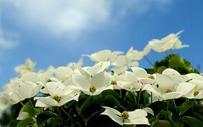 Картинка небо, лепестки, цветение, кизил
