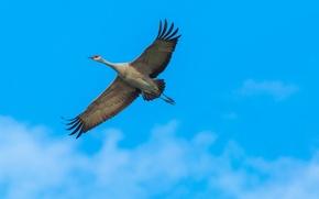 Обои небо, канадский журавль, полет, крылья, птица