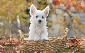 Картинка листья, корзина, щенок