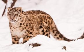 Картинка морда, сепия, ирбис, снежный барс, snow leopard, стоит, смотрит, идёт, на снегу, uncia uncia, красивый ...