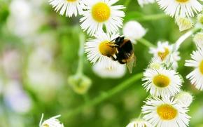 Картинка лето, цветы, ромашка, шмель