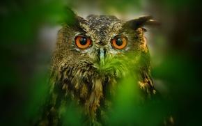 Картинка глаза, листья, сова, птица, размытость