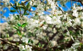Картинка вишня, пчела, Весна, цветение