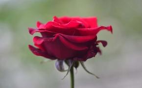 Картинка макро, роза, лепестки, стебель