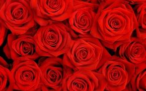 Обои цветы, розы, бутоны