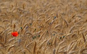 Обои красный, пшеница, поле, мак, маки, колоски