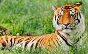 Картинка трава, тигр, отдых