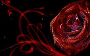 Обои роса, Роза, капли