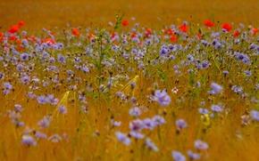 Картинка поле, трава, цветы, маки, колосья, васильки