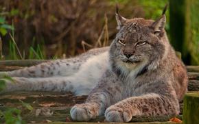 Обои лежит, взгляд, отдых, лапы, морда, смотрит, рысь, гордый, канадская, дикая кошка