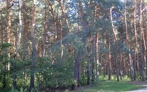 Картинка лес, парк, вечер, тропинка, сосна