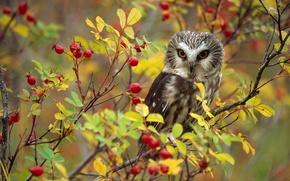 Картинка сова, птица, шиповник, Канада, Британская Колумбия
