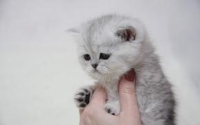 Обои кошка, рука, котенок