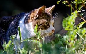 Картинка лето, трава, кот, растения