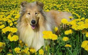 Картинка собака, одуванчики, колли