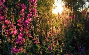 Картинка лес, солнце, закат, цветы, природа