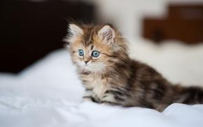 Картинка кошка, котенок, постель, простынь, пушистая, Daisy, Ben Torode