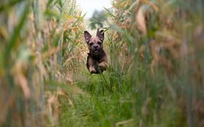 Картинка поле, настроение, собака, кукуруза, бег, щенок, полёт, Бордер терьер