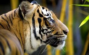 Обои голова, усы, хищник, морда, листья, мех, тигр, шерсть, кошка, дикая, животное, окрас, бамбук, профиль, полоски, ...