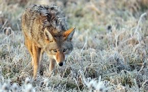 Картинка иней, трава, природа, размытость, одинокий, койот, изморозь, настороженный взгляд, Coyote, взъерошенный