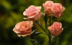 Обои фон, розы, бутоны