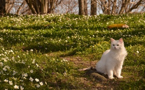 Обои кошка, цветы, ветреница, природа, весна, кот