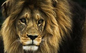 Обои лев, царь зверей, Lion