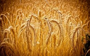Картинка Макро, Колосья, Зерна, Пшеница, Macro, Cornfield