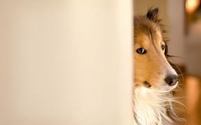 Обои собака, колли, Fergus, Kerfuffle~Photography