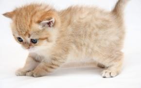 Обои кошка, кот, котенок