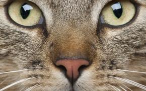 Картинка кот, усы, взгляд, морда, животное