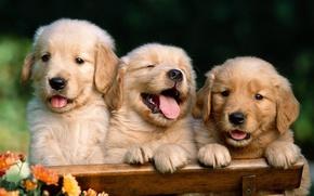 Обои забавные, Лабрадо, щенки