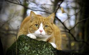 Картинка глаза, кот, усы, взгляд, природа, камень, ветка