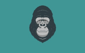 Обои минимализм, голова, обезьяна, горилла, monkey, gorilla
