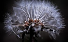 Обои одуванчик, фон, былинка, цветок